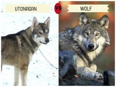 Dogs that Look Like Wolves | PetHelpful