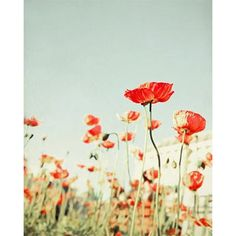 Poppy Flower Photograph~my favorite spring time flowers <3