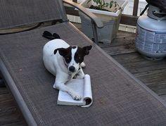 Read any good books lately? #ratterrier #geniusdog