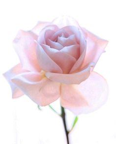 lady rose.. by Joseph Mazzucco on Fotoblur
