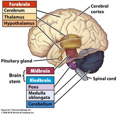 Parts and functions of human brain - Mid Brain Power Brain Anatomy And Function, Human Brain Anatomy, Anatomy And Physiology, Medan, Animal Cell Project, Physical Therapy Student, Doctor Of Nursing Practice, Brain Nerves, Neurological System