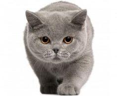 【ブリティッシュショートヘア画像集☆】  ブリティッシュショートヘアの子猫ばかり、11画像集☆  読んでみる ↓↓↓
