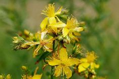 Saint John's wort, also called hyperycum, is the name of a group of about 300 species of herbs and shrubs with large yellow flowers.-John's-worts grow in the temperate…Read MoreSaint John's wort Saint John, Healing Herbs, Medicinal Herbs, Natural Medicine, Herbal Medicine, Herbal Remedies, Natural Remedies, Genital Herpes, Medicinal Plants