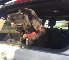 Labrador Retriever dog for Adoption in Del Rio, TX. ADN-446144 on PuppyFinder.com Gender: Male. Age: Adult