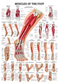 Muscles of the Foot Laminated Anatomy Chart Foot Pain Chart, Neck Massage, Foot Massage, Massage Products, Medical Massage, Foot Pain Relief, Massage Therapist Jobs, Massage Therapy, Foot Anatomy