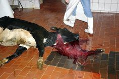 """""""Inside the slaughter house!"""" When I saw this picture, I decided to never eat meat again.this is cruel. Reasons To Be Vegan, The Modern Prometheus, Respect Life, Factory Farming, Why Vegan, Stop Animal Cruelty, Vegan Animals, All Gods Creatures, Animal Welfare"""