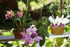 Como cuidar de orquídea varanda
