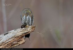 Northern Pygmy-Owl - Gregory Lis
