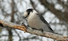 Candidates for Canada's National Bird (Vote Now)