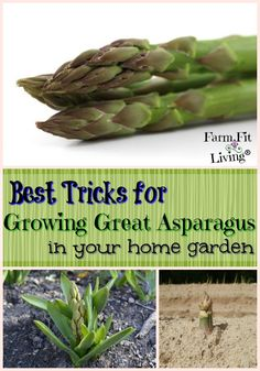 Are you looking for the best tricks for growing great asparagus in your home garden and for your table? Here's plenty of tips for growing asparagus from planning to harvest. #growingasparagus #bestgardentips via @www.pinterest.com/farmfitliving