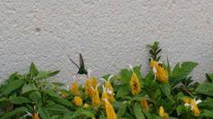 Camarão amarelo e Beija-Flor uma combinação perfeita!!