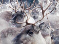 Rendieren in de Zweedse herfst