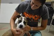ASPCA responder holding white and brown pit bull mix