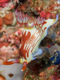 Nembrotha lineolata gobbling on a tunicate by Samantha Craven