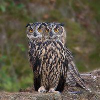 Birdpix kaarten Owl Photos, Owl Pictures, Eurasian Eagle Owl, Nocturnal Birds, Owl Eyes, Curious Creatures, Beautiful Owl, Wise Owl, Tier Fotos