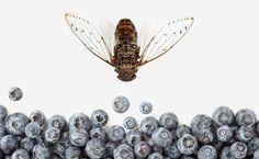 Cicadas!... AND blueberries!