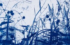 Seedheads. Cyanotype. Kath williamson