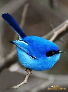 The blue fairy wren of Australia. I want a blue fairy. Pretty Birds, Love Birds, Beautiful Birds, Animals Beautiful, Cute Animals, Humorous Animals, Beautiful Pictures, Three Birds, Birds 2