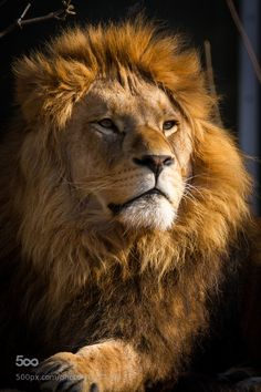 Tattoo Lion Of Judah Big Cats Trendy Ideas Lion King Pictures, Lion Images, Majestic Animals, Animals Beautiful, Cute Animals, Lion Love, Cute Lion, Wild Animal Wallpaper, Lion Wallpaper