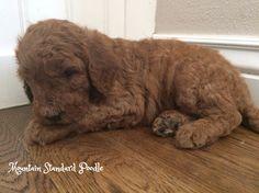 standard poodle puppy 4 weeks old before 1st grooming