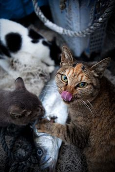 50 Amazing Photos From Cat Heaven Island In Japan - Photographer Fubirai has spent the last five years documenting the lives of the semi-wild cats that roam the island in Fukuoka, Japan. Cool Cats, I Love Cats, Funny Cats, Funny Animals, Cute Animals, Cats Humor, Funny Horses, Crazy Cat Lady, Crazy Cats