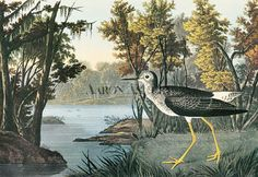 Audubon Birds of America Vintage 1979 Art Print Collectable Frameable Book PLATE 110 Lesser Yellow Legs Audubon Prints, Audubon Birds, Wings Of Desire, Painting Prints, Canvas Prints, Yellow Painting, Paintings, Birds Of America, John James Audubon