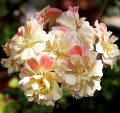 Exempel zonarticpelargon med flerfärgade, fransiga kronblad