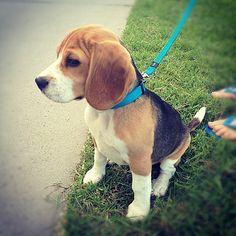 Lovely #Beagle cross #Cavalier #puppy #Sydney #sydneymorningphoto | Flickr - Photo Sharing!