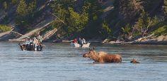 Alaska - A mother moose leads her 1-week-old calf across the Kenai River