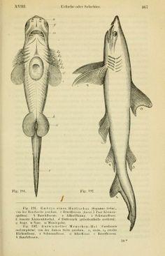 1877 - 3rd ed. - Anthropogenie; - Biodiversity Heritage Library, shark!