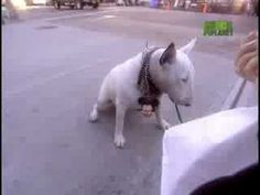 This is the best Bull Terrier video I have seen. Sums them up perfectly!