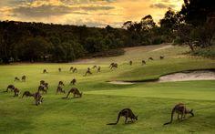 Kangaroos - Anglesea Golf Course , Vic Australia.