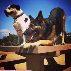 Practicing downward dog at Laurel Canyon Dog Park - Studio City, CA - Angus Off-Leash #dogs #puppies #cutedogs #dogparks #studiocity #california #angusoffleash