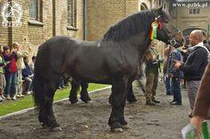 Polish Coldblood - stallion Liwet