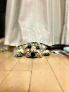 Looks like my Kain when - thunder and lightning Cairn Terriers, Terrier Breeds, Terrier Puppies, Dog Breeds, Little Dogs, Big Dogs, I Love Dogs, Pet Psychic, Silky Terrier