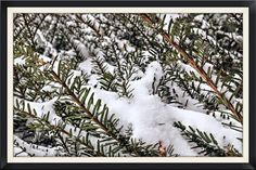 https://flic.kr/p/qVZjVP | A Touch of Snow | The beginning of our snowfall  that  decorated the evergreen bushes.