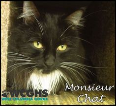 Monsieur Chat is a 4 year old, long haired black male cat who is very sweet. He loves to be pet and brushed and is extremely gentle. He is used to other cats but not sure about dogs. He would make a great lap cat or loving pet for any home. Please come and visit with Monsiuer Chat. Merci!