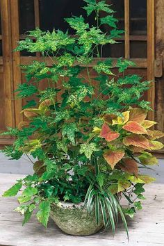 container plant concrete pot with coleus, maple, spider plant, holly fern