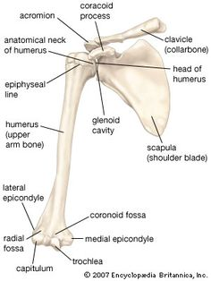 Anterior view of the bones of the right shoulder, showing the clavicle (collarbone), scapula (shoulder blade), and humerus (upper arm bone). Medical Coding, Medical Science, Medical Technology, Medical Laboratory, Energy Technology, Human Body Anatomy, Human Anatomy And Physiology, Muscle Anatomy, Anatomy Study