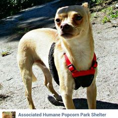 http://www.ahscares.org/  This adorable little guy is Peanut, a 1 1/2 year old Chihuahua that came to us from our Newark facility in search of a great new home. Peanut had a home, but was turned in when his family could no longer care for him. Little Peanut was so very shy when he first came in. It was as if he had never really been socialized much with people. Although he is shy, he is not at all aggressive, and he melts as soon as you pick him up and show him some kindness. Peanut has…