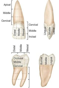 Anatomical location terms of teeth.