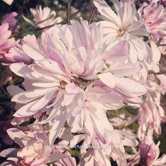 Magnolia stellata 'Chrysanthemiflora' #gardening #tuinieren #jardinage #gartenarbeit #magnolia #flowers #bloemen #fleurs #blumen #tree #boom #arbre #baum #hortusconclusus #treenursery #boomkwekerij #pépinière #baumschule #uitbergen #berlare #zele #wichelen #schellebelle #lokeren #schoonaarde #dendermonde #laarne #beervelde #kalken #wetteren