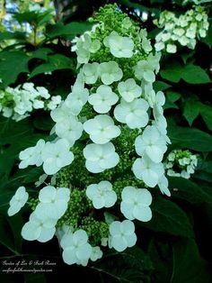 Oakleaf Hydrangea (Garden of Len & Barb Rosen)