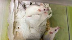 COMPROMISSO CONSCIENTE: Reprodução sem óvulo - Cientistas reproduzem ratos...