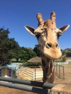 Malibu Wine Safaris - Malibu, CA, United States. Stanley the Giraffe (from Hangover 3)