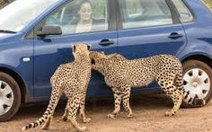 Two inquisitive cheetahs inspect a Volkswagen Polo as it enters their enclosure at the Rhino and Lion park in Kromdraai in Johannesburg, South Africa. Volkswagen Polo, Cheetahs, South Africa, Giraffe, Two By Two, Lion, Public Knowledge, Park, History