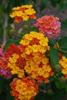 Miss Huff Lantana flower.
