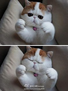 exotic british short haired  cats | exotic shorthair les chats de e a m
