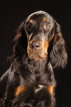 Gordon Setter. My next dog.