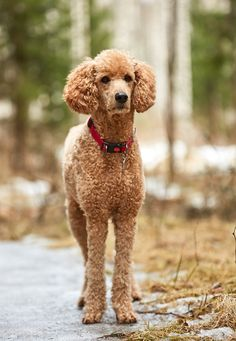 Standard poodle standing in the springtime forest ready for action. Outdoor dog portrait - Standard poodle standing in the springtime forest ready for action. Goldendoodle Grooming, Poodle Grooming, Dog Grooming, Poodle Haircut Styles, Red Poodles, Poodle Cuts, Dog Haircuts, Terrier, Outdoor Dog